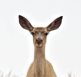 Young Tule elk