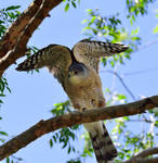 Neighborhood falcon or hawk