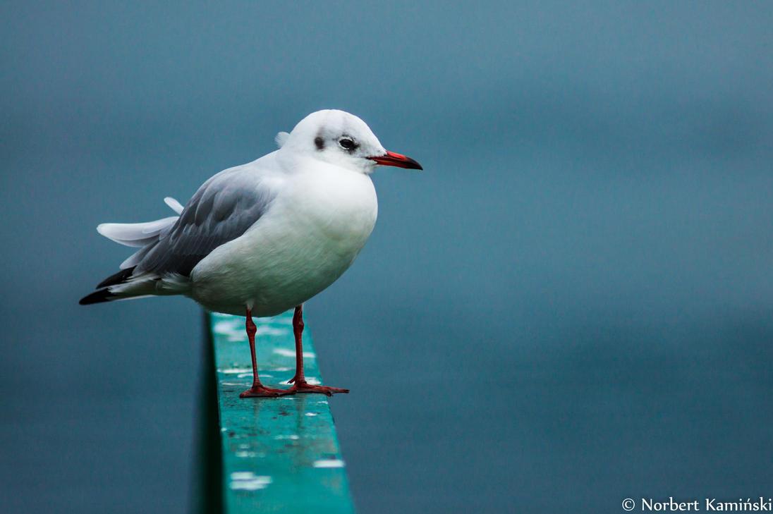 Seagull by KaminskiN