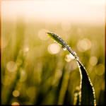 Gras und Tau