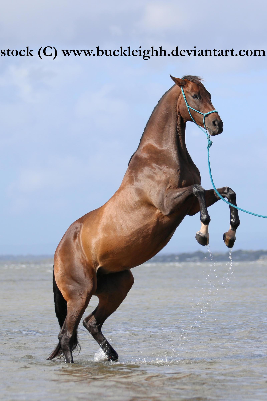 Bay horse rear stock 5