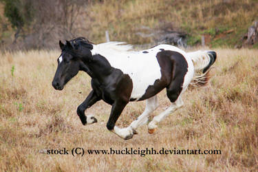Black tobiano horse gallop / float / fly stock by buckleighh