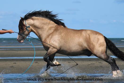 Buckskin welsh pony canter / leap stock
