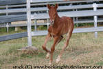 Chestnut foal cantering stock 3