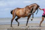 Bay horse trot stock 4