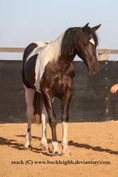 Tobiano horse standing stock