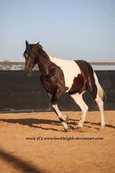 Tobiano horse cantering / rollback stock