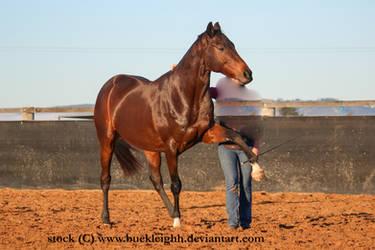 Bay horse pawing / spanish walk stock