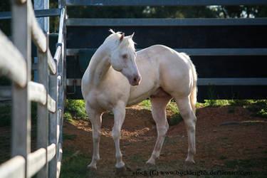 Cremello horse standing stock