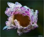 M4453 - November daisy.