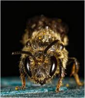 M6378 - Bull bee.