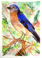 ACEO-Eastern bluebird by atorife