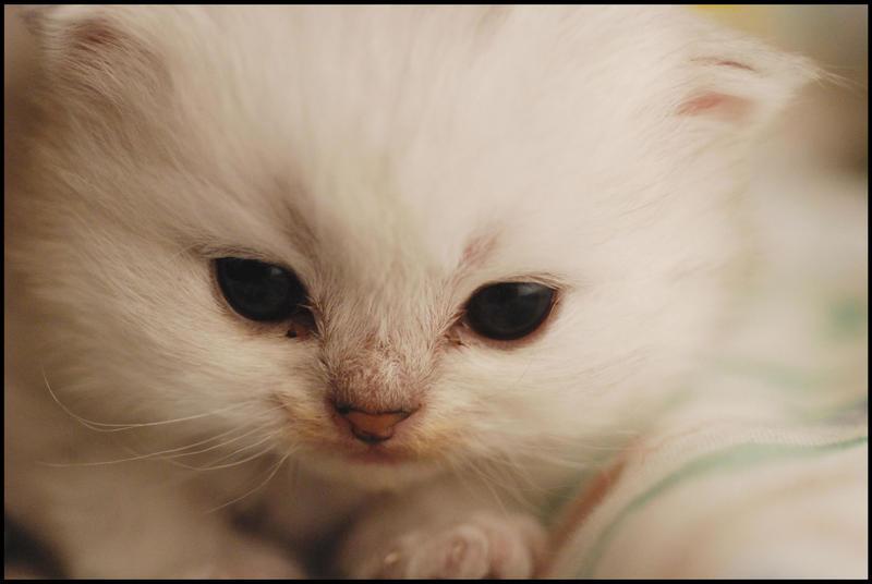 Baby kitten by AWhisperOfLove