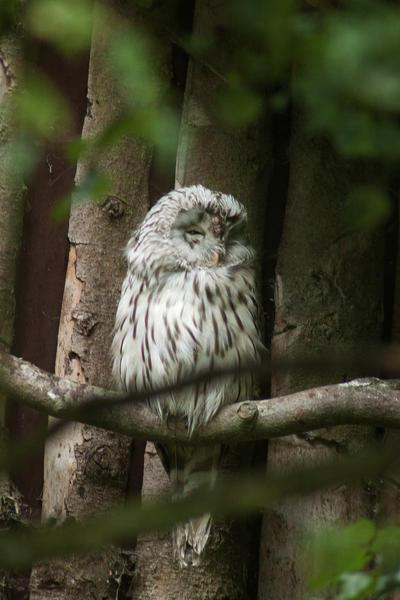 Sleeping owl by AWhisperOfLove