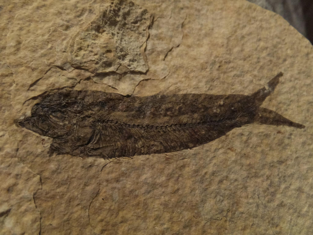 how to framing fossil fish