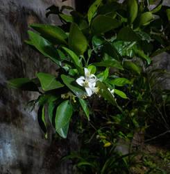 the midnight flower