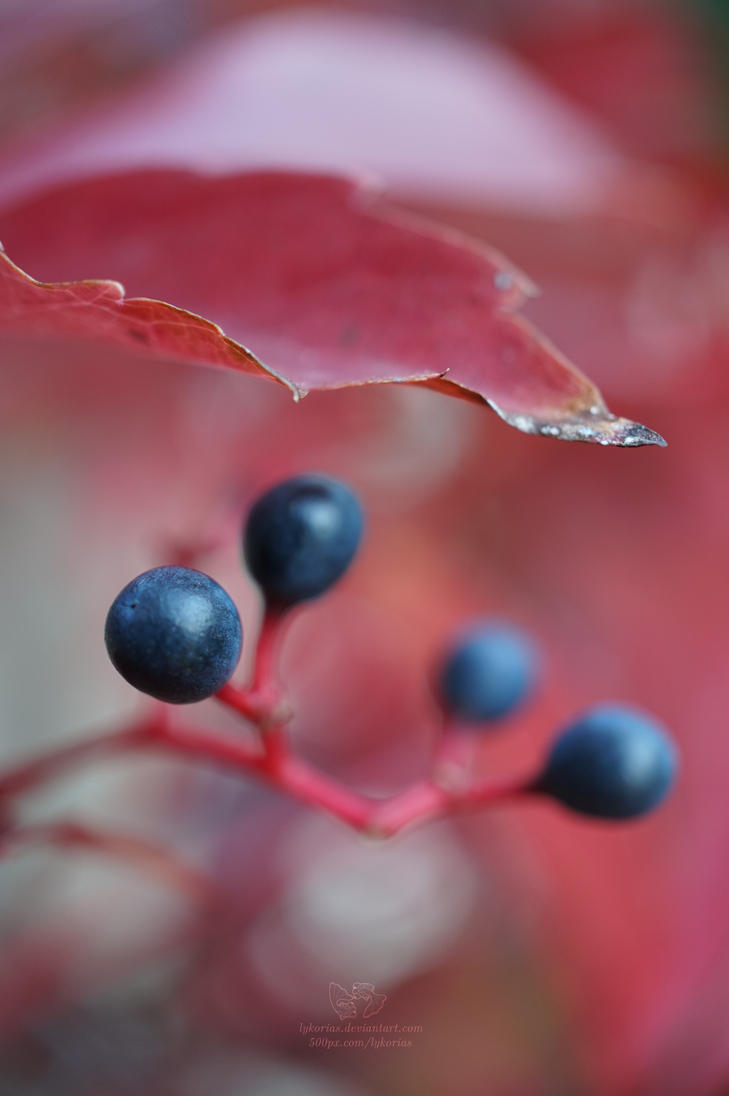 Autumn berries by Lykorias