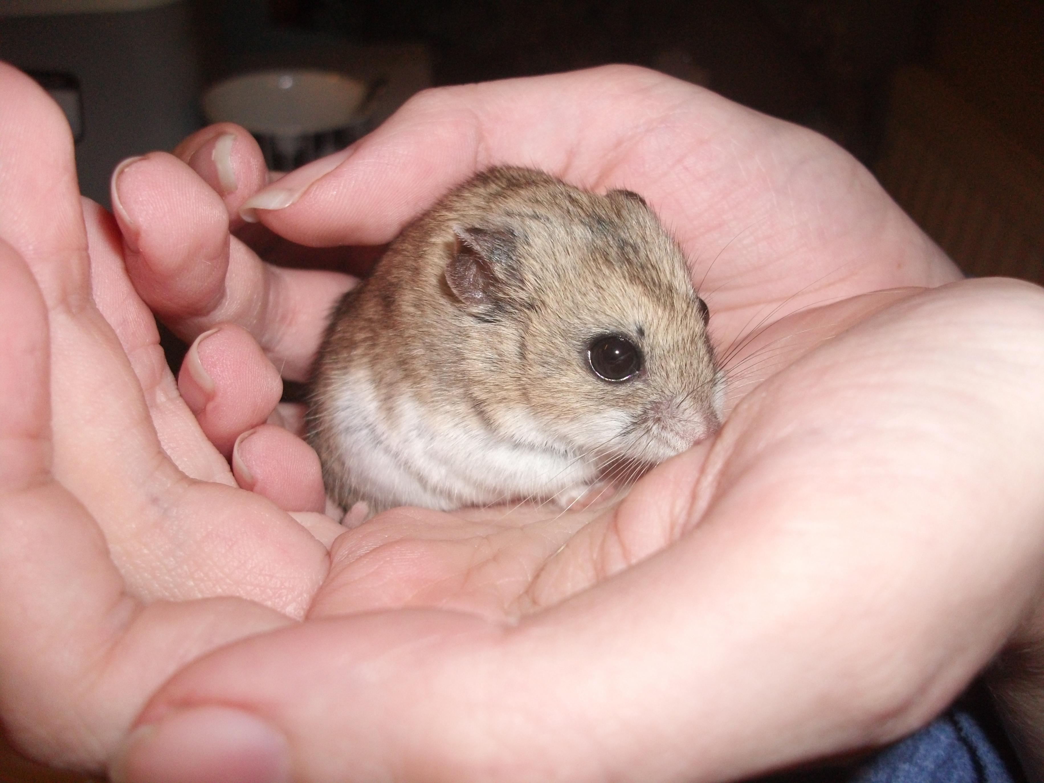 Adult dwarf hamster smut video