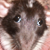 Rat derp icon by Miku-Nyan02