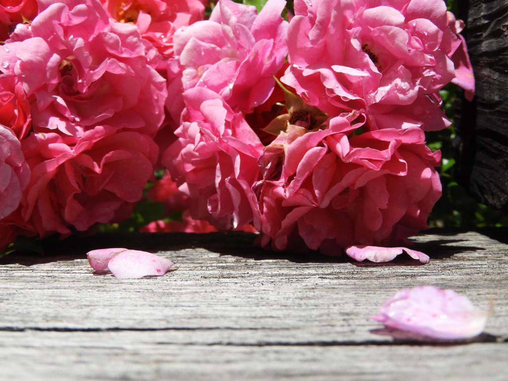 Roses by Ayame-Himeru