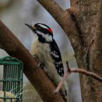 .:Downy Woodpecker:.