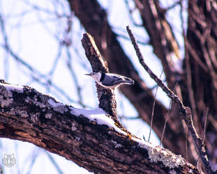 .:White-breasted Nuthatch:.