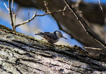 .:White-breasted Nuthatch:. II