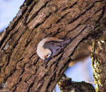 .:White-breasted Nuthatch:. IV
