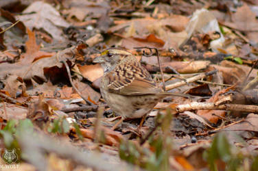 .:White-throated Sparrow:.