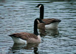 .:Canadian Geese:.