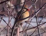 .:Cardinal:.