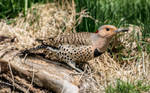 .:Northern Flicker:.