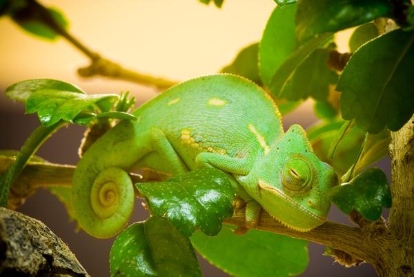 Chameleon by TRA-DA