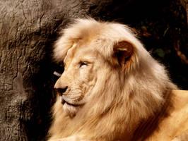 Lion by TRA-DA
