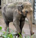 AthenaStock::Zoo Elephant