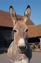 Donkey Tongue
