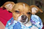AthenaStock: Chihuahua Face