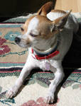 AthenaStock: Chihuahua Sun FL