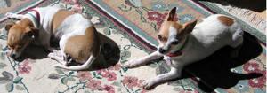 AthenaStock: Chihuahua SunSide