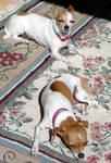 AthenaStock: Chihuahuas Sun 1