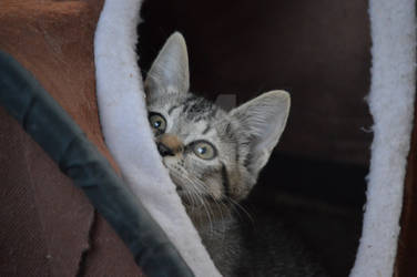Peek-a-boo Kitten