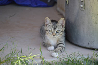 Tabby Kitten 3