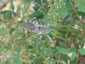 hello wheel bug by seamaire
