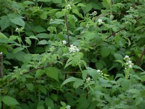 black rasberry bush
