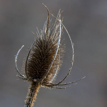 A thistle ... just a thistle by MinaTenebrae