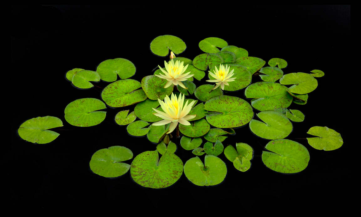 water lilies by eDDie-TK