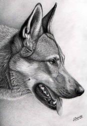 Czechoslovakian wolfdog by waderra