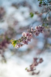 Cherry Blossom 2k18