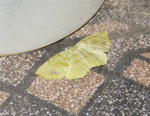 Leaf Butterfly 01