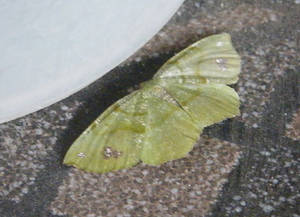 Leaf Butterfly 02